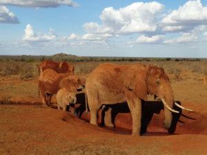 Red elephants in Tsavo East, Kenya